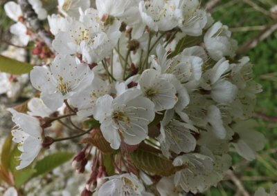 Wild cherry blossom