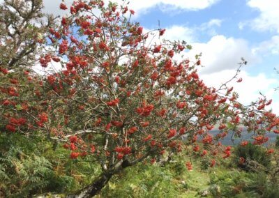 Mountain Ash trees in September